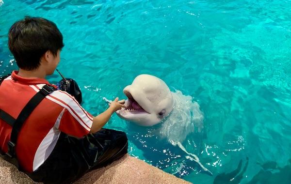 名古屋港水族館のベルーガ公開トレーニング