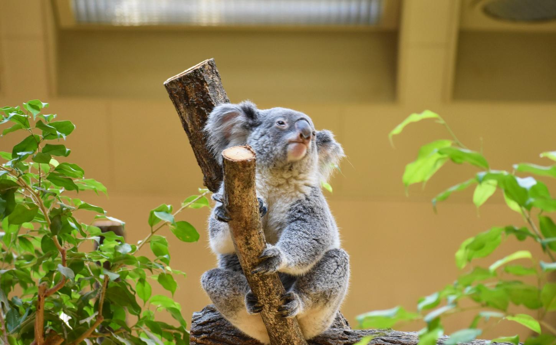東山動植物園のコアラ